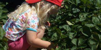 strawberries-4-1622656-800x450