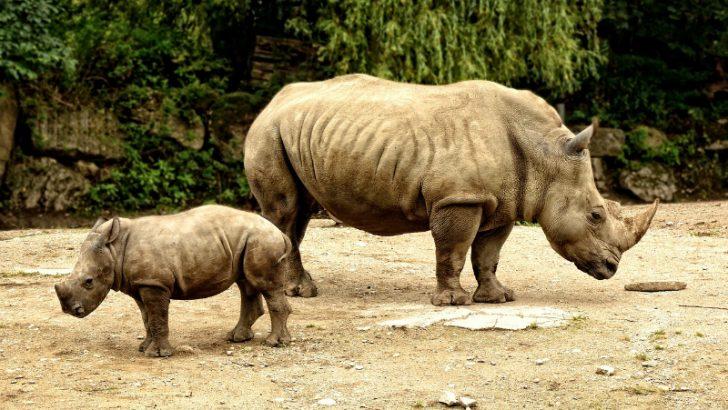 Rhino Image credit Pixabay/Antranias