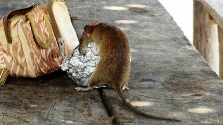 IFS goes rat catching