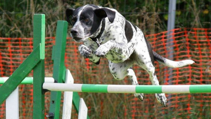 Dog,Image credit Pixabay/Woodsilver