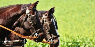 Horses team Image credit pixabay/Alexas_fotos