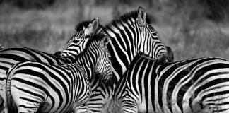 Zebra (Image credit :Pixabay/AjayLalu)