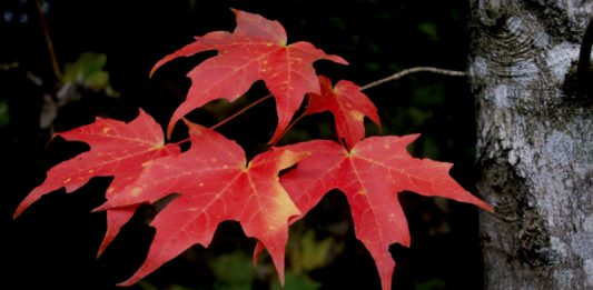 Red Leaf by Ian