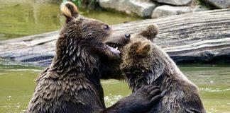 bear-fight heavyweights (Image credit Pixabay/suju)