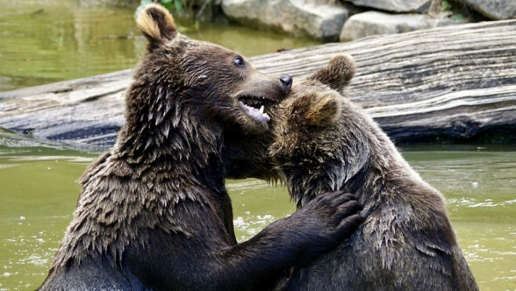 bear-fight heavyweights (Image credit Pixabay/suju)