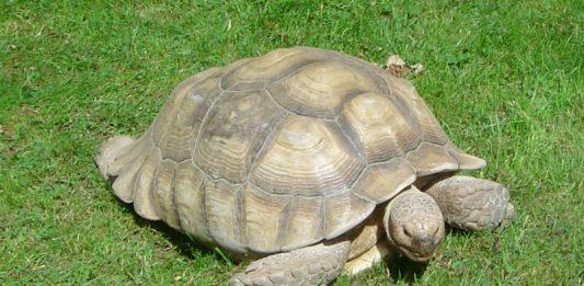 Steady Tortoise Image credit Pixabay/Ren5