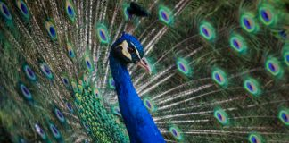 peacock : image source- Unsplash/andre-mouton