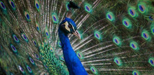 peacock : image source- Unsplash/andre-mouton