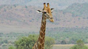 Giraffe Image credit PIxabay/sharonang