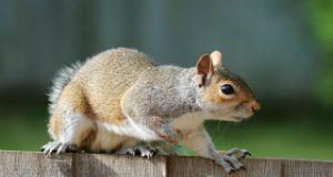 Squirrel - Image Source: Freeimages Pixabay.com