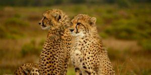 Cheetahs Source Image: Unsplash.com/ Roberta Doyle