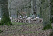 wolves - Image Source (c) Ian Murphy 2/1/2013