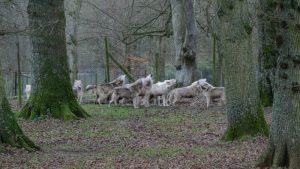 wolves - Image Source (c) Ian Murphy 2/1/2013