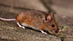 wood-mouse : Image source - Pixabay.com