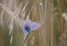 Adonis Butterfly Image credit Pixabay/Rihaij