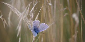 Adonis Butterfly Image credit Pixabay/Rihaij