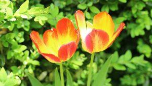 Tulips Image credit pixabay./ _Alicja_