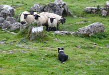 sheepdog : image source- Pixabay.com/marybettinibank