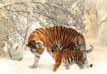 Tiger Image credit pixabay/poncchia