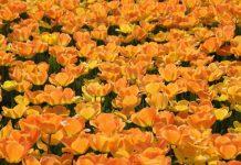Tulips Image credit Pixabay/Pixelanarchy