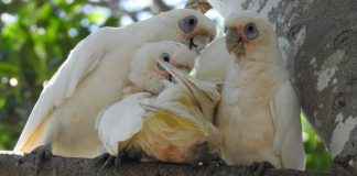 Parrots - Image credt pixabay/shellandshilo