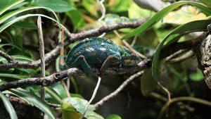 Chameleon : image credit - unsplash.com/erwan_hesry