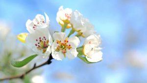 Apple blossom Image credit pixabay/esiul