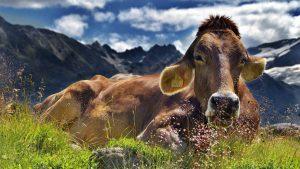cow image credit pixabay/JerzyGorecki