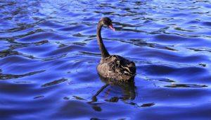 Black Swan Image credit pixabay/25621