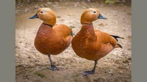 Two ducks - image credit: unsplash.com-Amir-Abbas Abdolali
