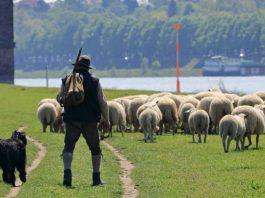 Shepherd sheep image credit PIxabay/pixel2013