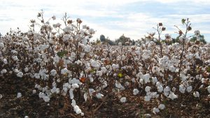 BPLO and cotton