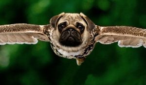 Hybrid Pug Image by Sarah Richter from Pixabay