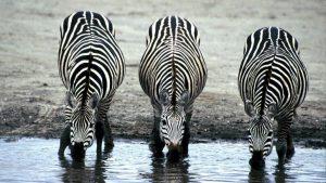 Three Zebras Image by skeeze from Pixabay