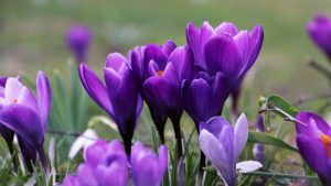 Violet Crocus March Image by pasja1000 from Pixabay