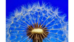 May Dandelion Image by My pictures are CC0. When doing composings: from Pixabay