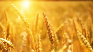 Summer 2020 Wheat Sun Sunshine Image by Bruno /Germany from Pixabay