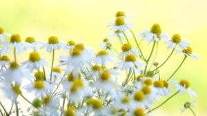 Summer Chamomile June Image by Stefanie Haller from Pixabay