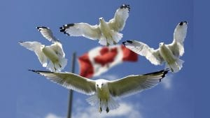 Levio Gulls Canada Flies Image by Frank Winkler from Pixabay