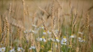 Wheat August Image by Alexey Kuzmin from Pixabay