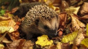 Hedgehog September Image by monicore from Pixabay
