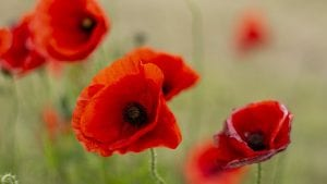 November Poppy Remembrance Day Image by Kevin Graham from Pixabay