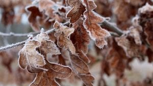 February Frost Leaves Oak Image by _Alicja_ from Pixabay