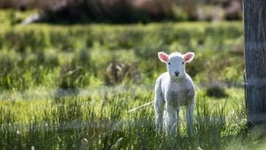 Lamb March Image by Free-Photos from Pixabay
