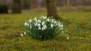 Snowdrop March Image by Karsten Paulick from Pixabay