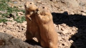 Prairie dog two double Image by Myriams-Fotos from Pixabay