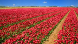 Tulip Field April Image by Filio from Pixabay