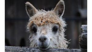 Llama Image by Suzanne Sudekum from Pixabay