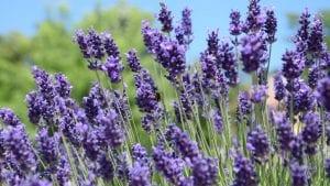 week beginning 14th June - Lavender Image by Izabella Lepsényi from Pixabay