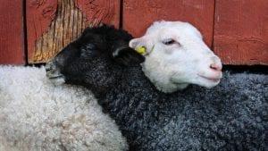 May Lamb Spring Image by Knarrhultpia from Pixabay